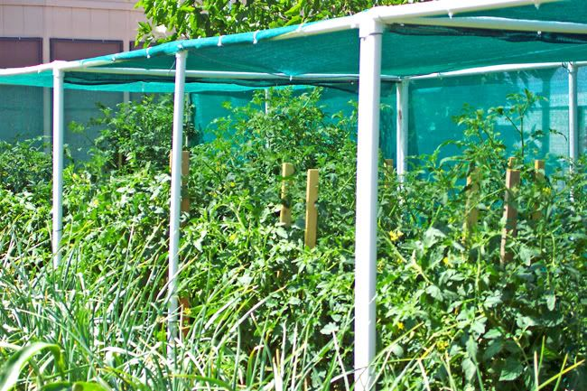 Pvc and shade cloth to keep tomatoes going in the heat - Cover crops for vegetable gardens ...