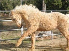 Le Curly, un cheval qui frise ... Eh oui, on continue avec les surprises ! ( et ça n'est pas prêt de s'arrêter... (-: Et en plus, autre surprise , ce cheval américain est hypoallergénique . La plupart des personnes allergiques aux chevaux peuvent cotoyer...