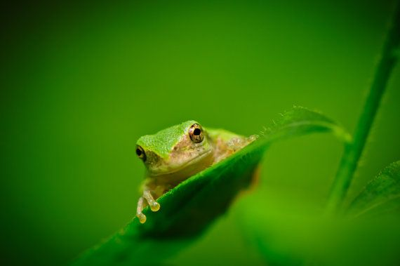 Nature Photography Green Tree Frogs Spring by SoulCenteredPhotoart, $15.00