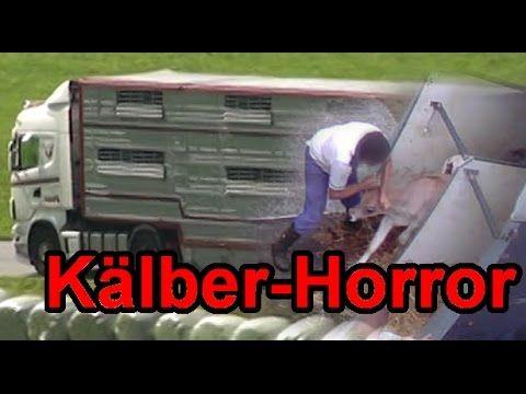 Kälber Horror: Der Export österreichischer Kälber