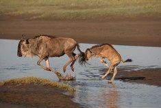 Passage To Africa - Maasai Mara - Kenya #Wildebeast #Calf