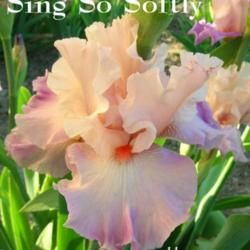 Tall bearded iris 'Sing So Softly'