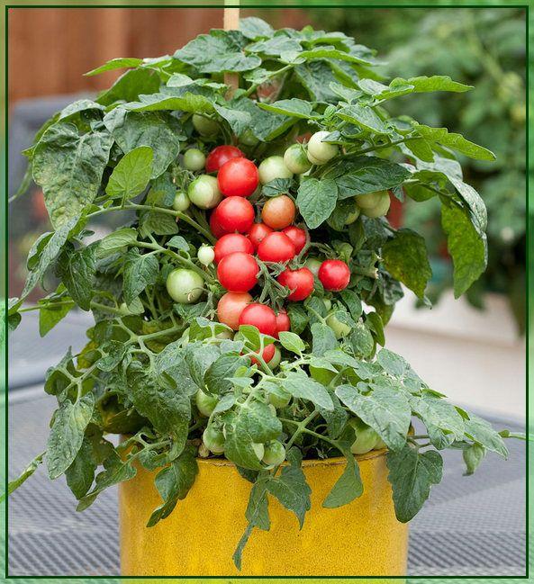 Vegetable Garden Grow Your Best Garden Ever Growing Cherry Tomatoes How To Grow Cherries Plants