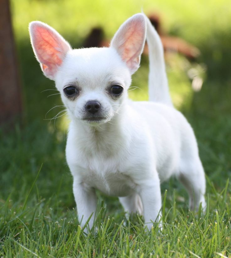 White Chihuahua...looks like my sugar bear