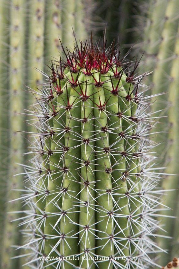 17 best images about cactus on pinterest cactus for sale. Black Bedroom Furniture Sets. Home Design Ideas