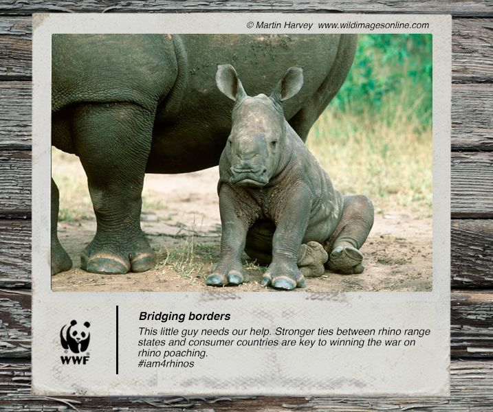 #DidYouKnow 82% of Africa's surviving black and white rhino are in South Africa? We need to protect them with help from our neighbours #iam4rhinos