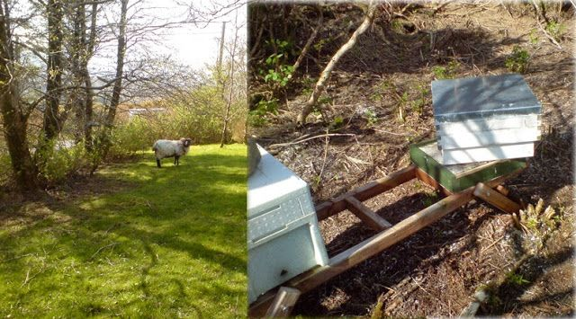 Polranny Pirate Bees: Damaging sheep