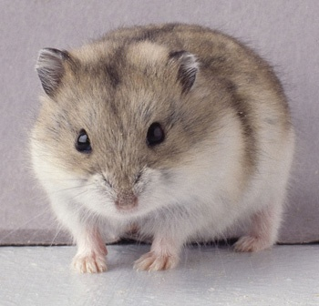 Winter White Russian Dwarf Hamster