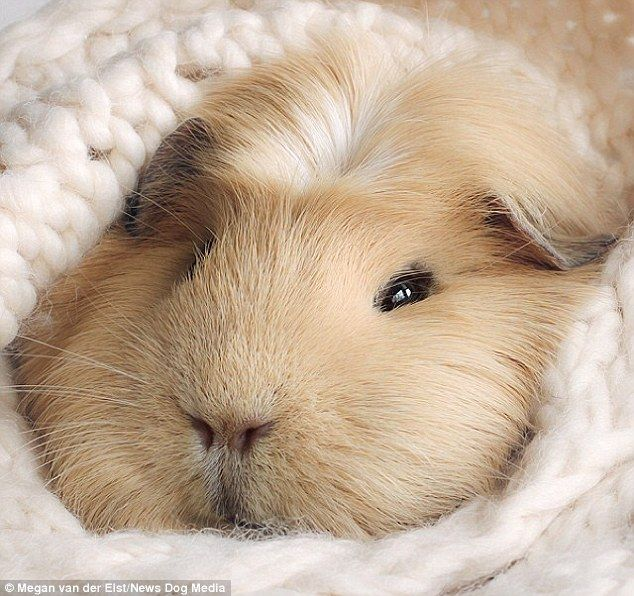 She lives with fellow guinea pigs, Titi and Tedd, in the Netherlands and loves snuggling u...