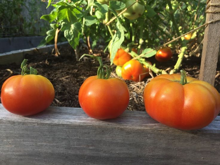 When I first started growing tomatoes, all I knew was that I wanted to grow them. And, let's see, did I leave anything out? Nope, that about covers it. That's all I knew at the time. Are you growing tomatoes for the first time? The first thing you will want to know about your tomato...