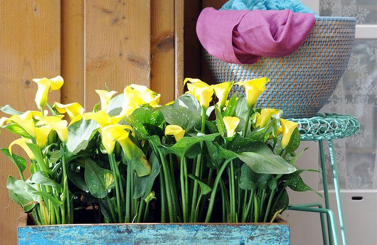Kleurrijke planten op balkon en terras - De calla is een van de vele planten die zowel binnen als buiten voor veel kleur zorgt. Van kamerplant naar buitenplant.