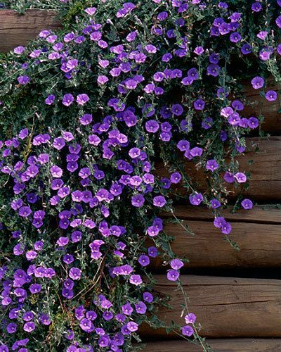 Graham's top groundcover plants - Convolvulus sabatius