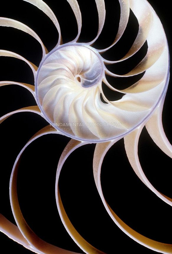 @PinFantasy - Nautilus Shell ~~ For more: - ✯ http://www.pinterest.com/PinFantasy/ciencia-~-conchas-y-f%C3%B3siles-shells-and-fossils/