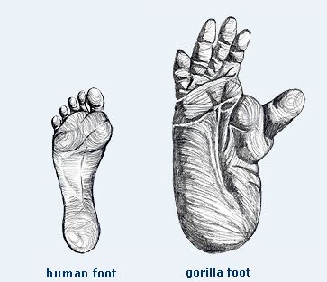 Comparison of human and gorilla foot size.