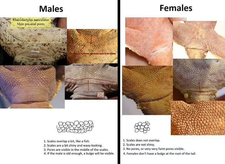 How to tell the sex of a crested gecko