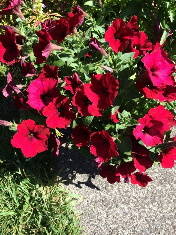 Petunia Petunia This Is A Petunia Prized For Showy Flowers But There Are So Many Cultivars We Cannot Identify I Showy Flowers Organic Fertilizer Petunias