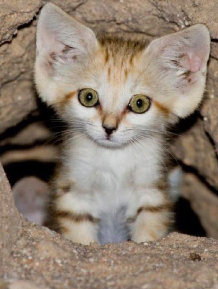 Desert Sand Kitten – 8th July 2015