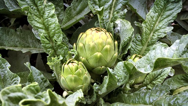 Learn all about the amazing artichoke's various health benefits; including its ability to prevent cancer and lower cholesterol!