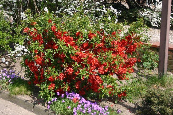 11 besten bl hende str ucher rot bilder auf pinterest gartenblumen gartenpflanzen und pflanzen. Black Bedroom Furniture Sets. Home Design Ideas