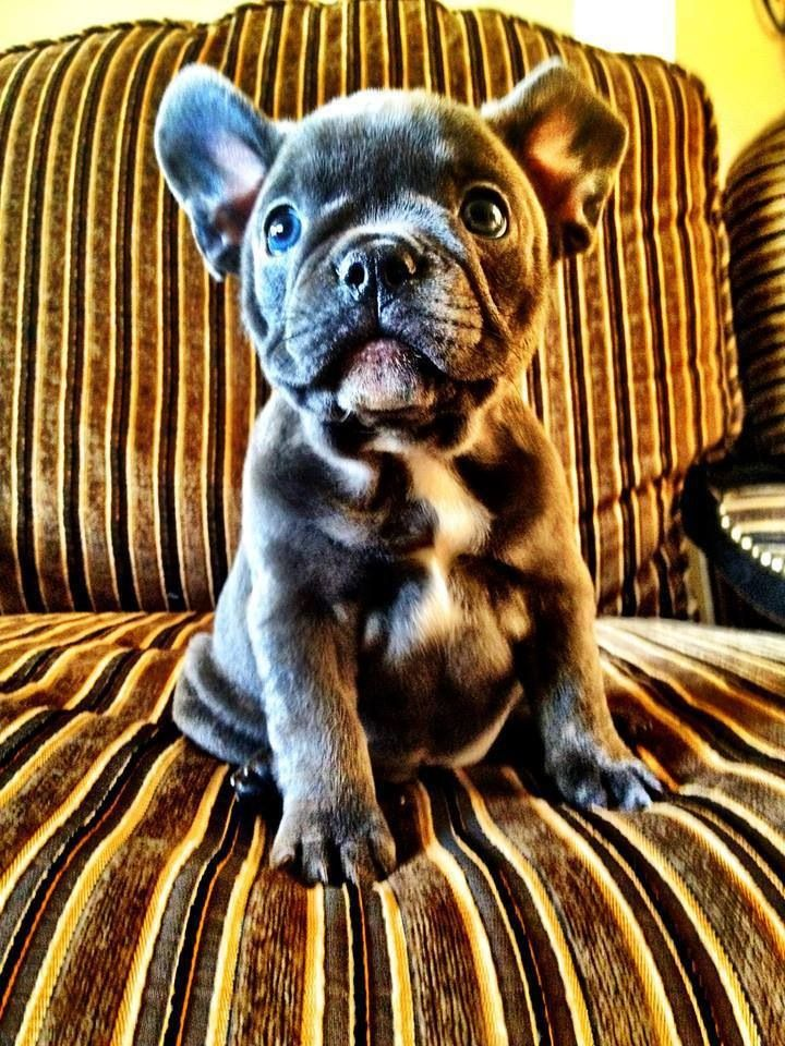 French Bulldog... too much cuteness