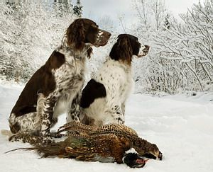 french spaniels in a winter hunting....breed site.