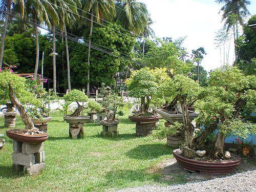 philippine bonsai isabela bonsai society-philippines by ...