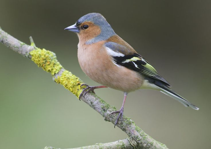 1000 Ideas About Chaffinch On Pinterest Siskin