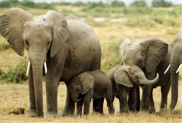 #Elephants are the largest of all land animals. An adult elephant can consume up to 136 kilograms of food in a single day!  Find more about these amazing creatures: http://impressivemagazine.com/2013/09/16/10-amazing-facts-about-elephants/