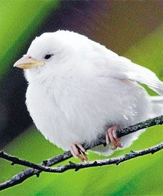 It's white and it's rare but an albino sparrow's striking snow-white plumage means even its feathered friends might not know whether their unusual mate is a boy or a girl.