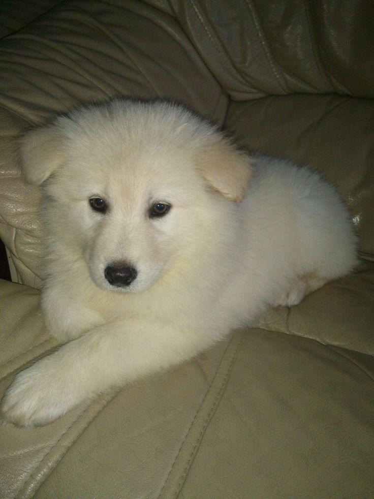 Long Haired White German Shepherd X Samoyed Pup