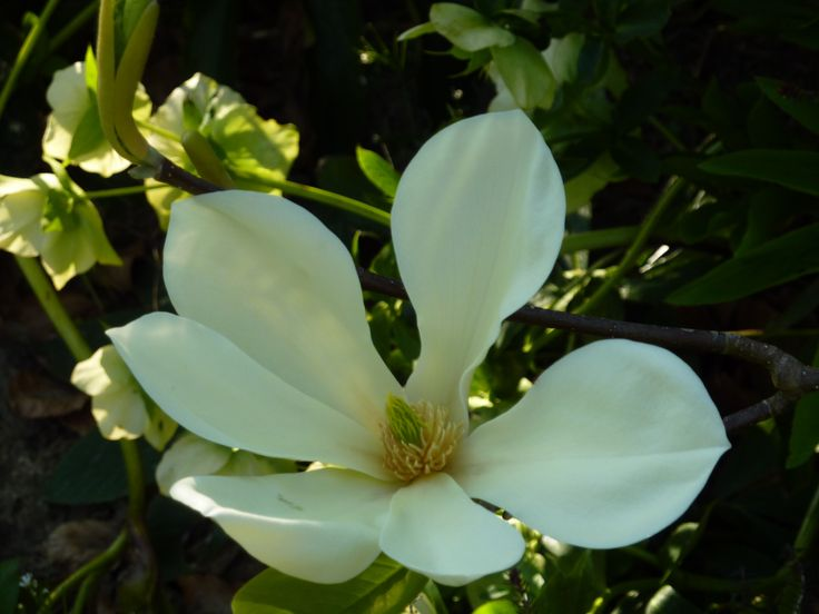 Magnolia chicon