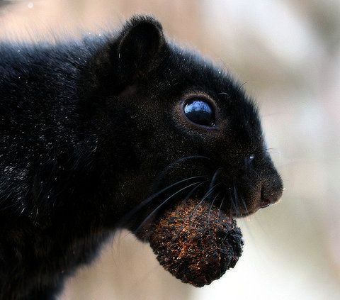 black squirrels are the best squirrels