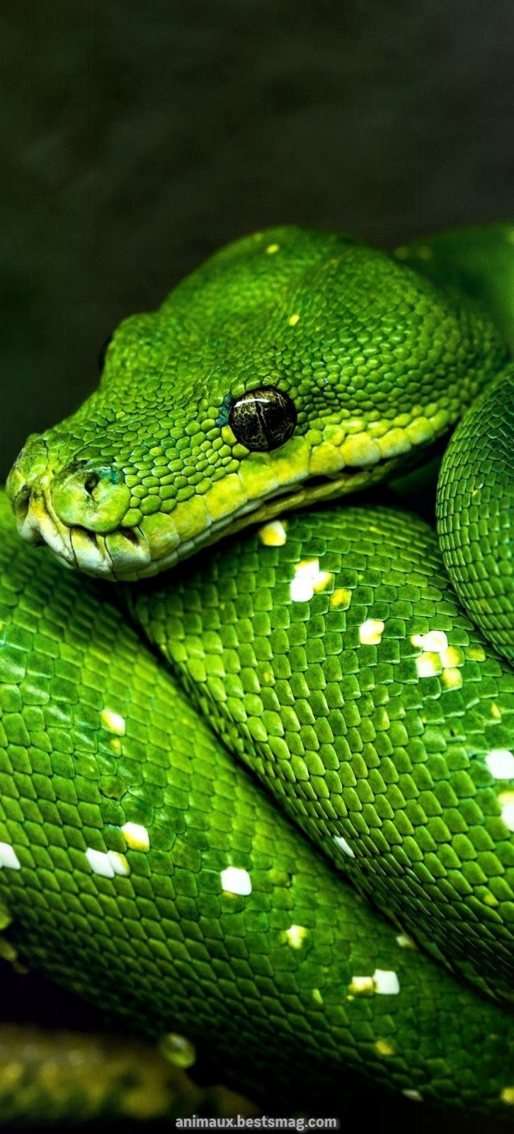 Un Serpent Apre Serpent Content Short 40 En 2020 Reptiles Et Amphibiens Photos De Serpent Fond D Ecran Serpent