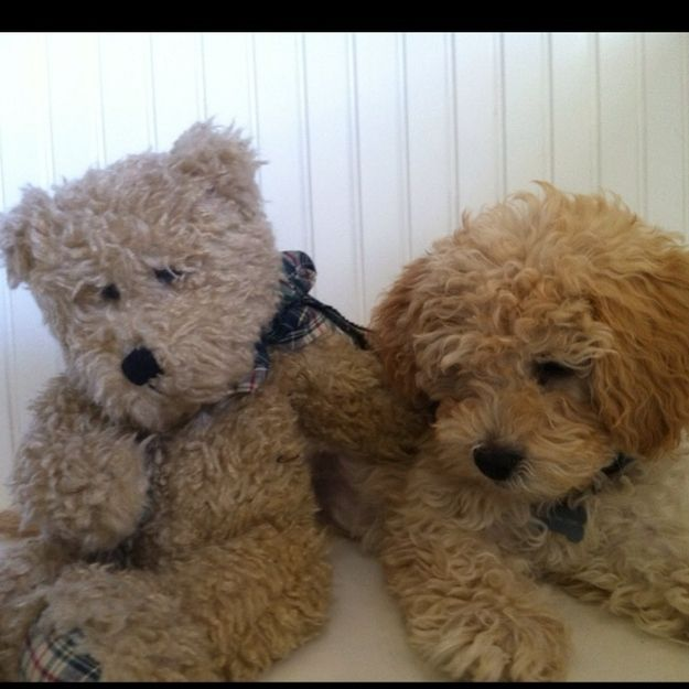 Its Like Having Your Own Living Teddy Bear... | 21 Reasons Labradoodles Are Wonderful