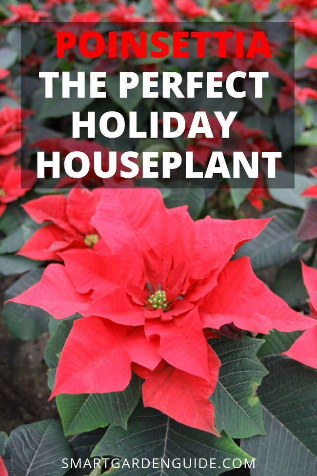 Poinsettia Plants Make A Great Addition To Your Festive Decorations Learn All About How Care For The Best Christmas Houseplant
