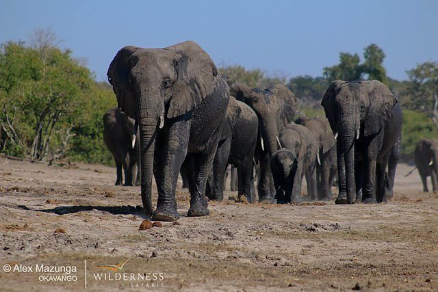 Chobe elephant seen from a river cruise