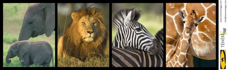 KENYA - I parchi più belli  gennaio 2013  dieci giorni di safari attraverso i diversi ambienti che caratterizzano la geografia keniana, con l'esperienza unica di un safari in autonomia o a passeggio o in MTB    Scarica il programma  http://www.tenereviaggi.com/Public/Pdf/34_KENYA%20PARCHI%202013.pdf