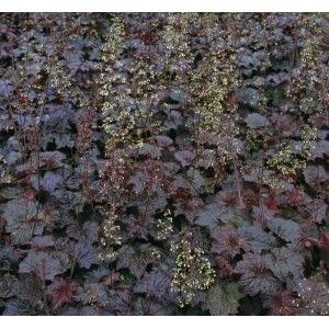 Heuchera americana Palace Purple / Ameerika helmikpööris Palace Purple