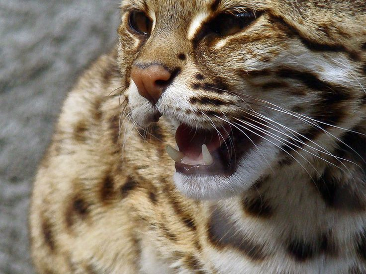 asian leopard cat info