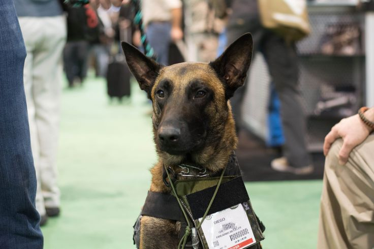 A Belgian Malinois stands watch at SHOT Show 2015.