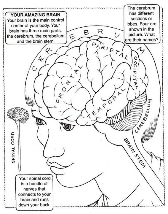 the Human Brain Coloring Pages for Students (With images