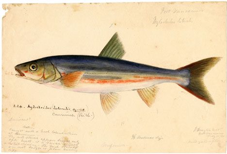 Field Book Project: This drawing was created during the United States Exploring Expedition, 1838-42, by Joseph Drayton, an illustrator for the expedition. The fieldnotes accompanying the image indicate that it was based on a recently-dead specimen caught in the Columbia River at Vancouver. Since the appearance of many species can change drastically after death, colored illustrations produced in the field are important archival materials. #ArchivesMonth