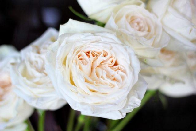 Roses In Garden: White O'hara Garden Roses