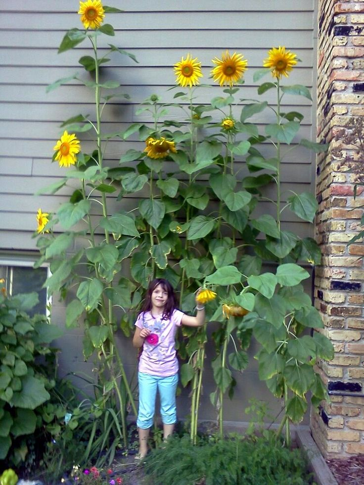 """My girl's first sunflowers from seed.  """"Mammoth Sunflowers""""."""