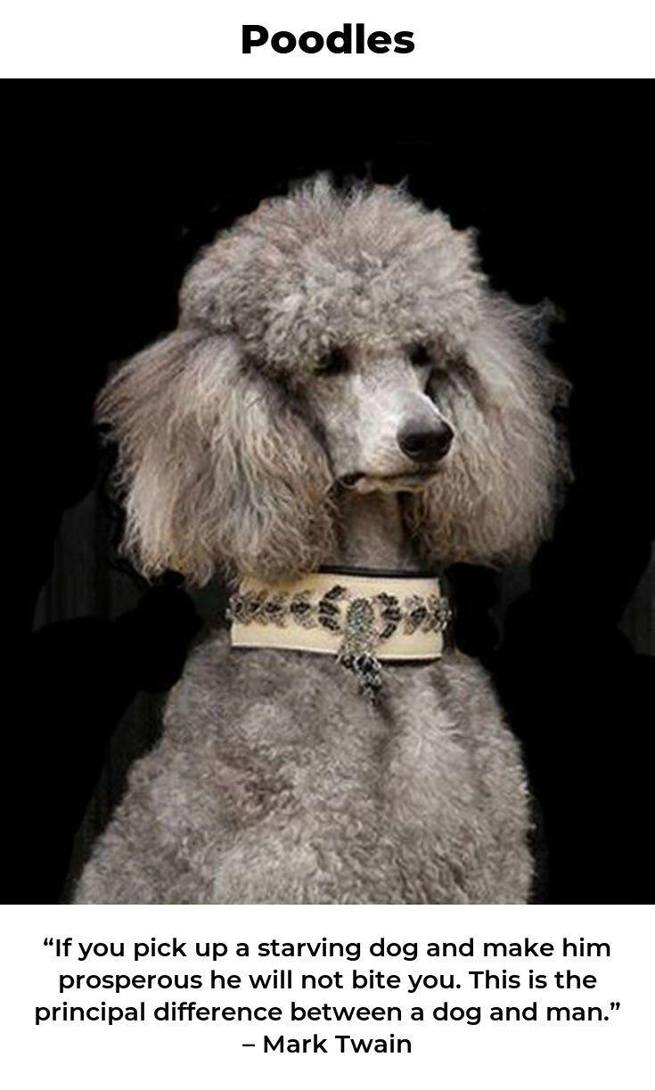 Poodles Poodlesandpaws Poodlesg Poodle Dog Rules Standard
