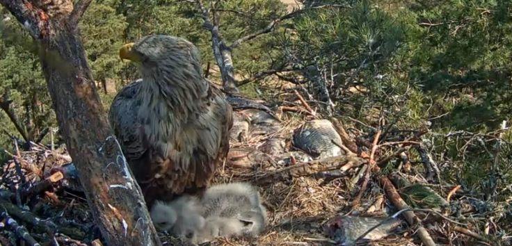 Orel mořský webkamera z hnízda, Sea Eagle webcam