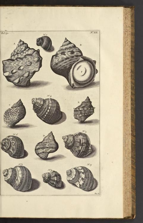 1705 - D'Amboinsche rariteitkamer : by Rumpf, Georg Eberhard, 1627-1702;  The majority of the plates are engraved by Jacob de Later, believed to be after illustrations by Maria Sybilla Merian