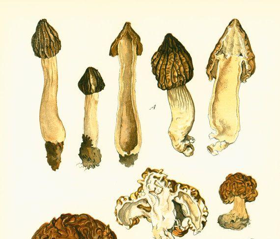 Champignon Morille, Morchella, Mitrophora, Planche originale botanique, Atlas mycologique,