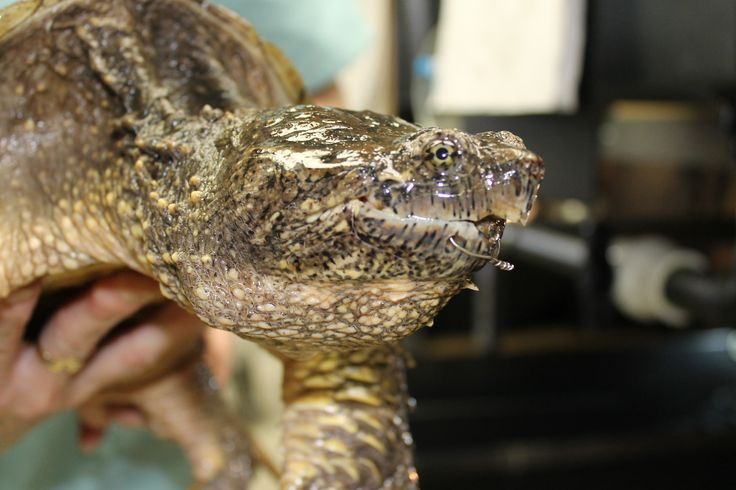 One of the many turtles that is helped at Kawartha Turtle Trauma Centre