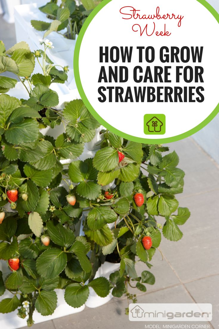 how to take care of strawberry plants